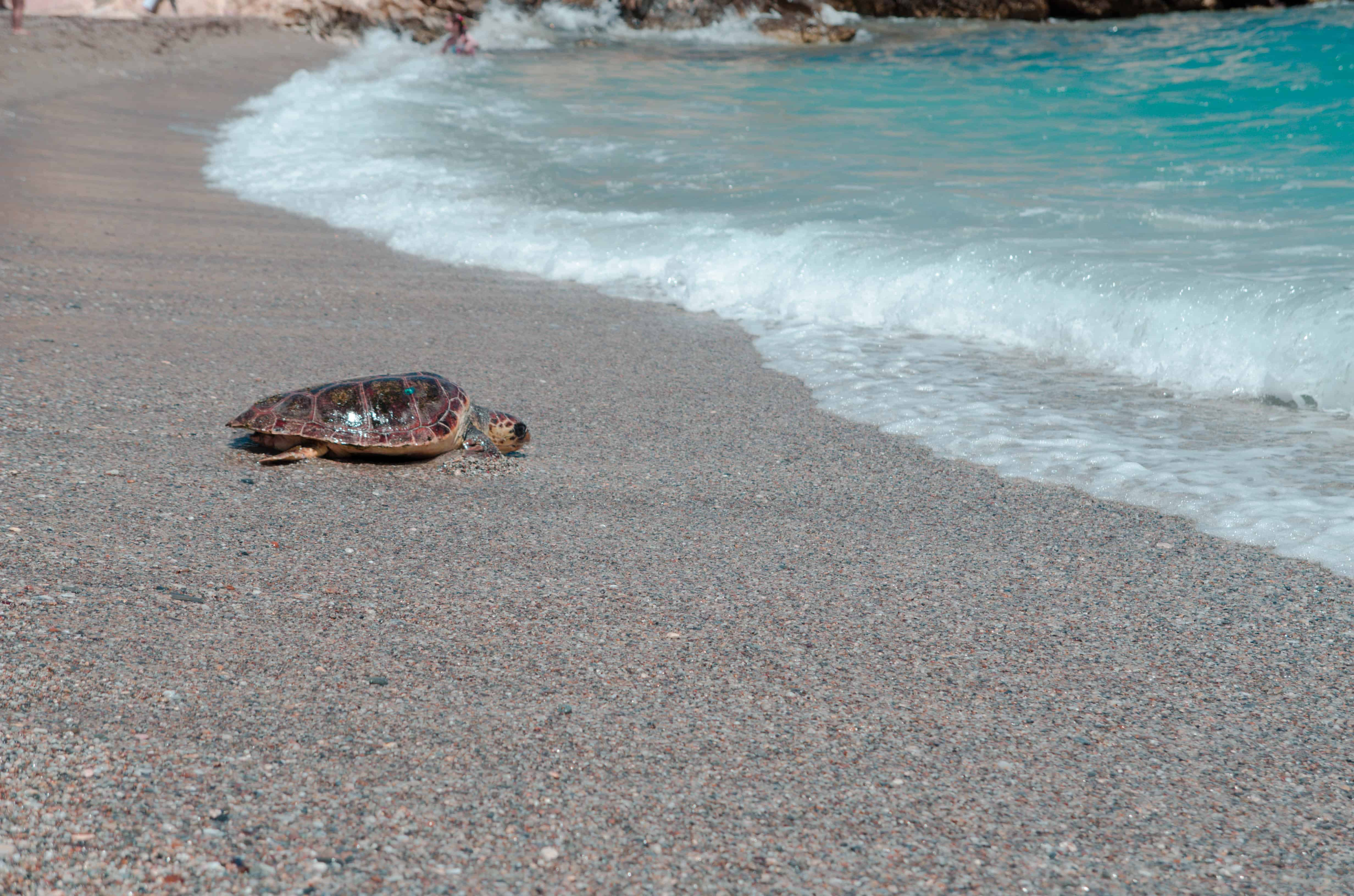 loggerhead turtle crawling on beach into the water