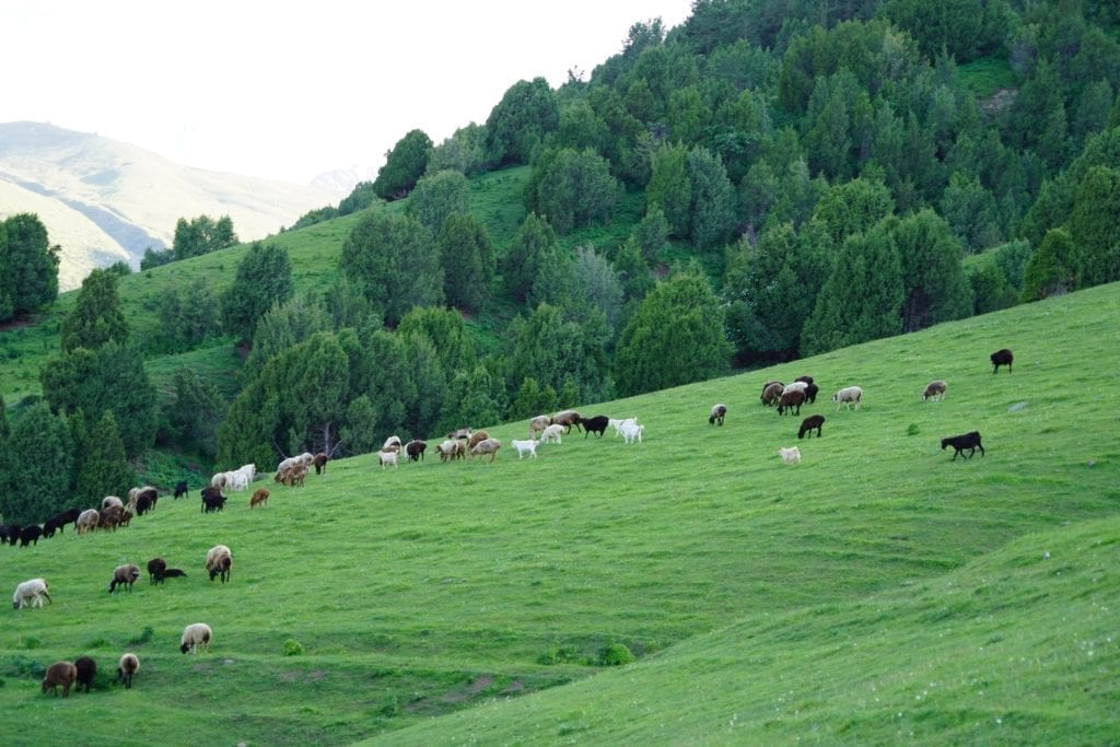 Girls Who Travel | Cows at pasture
